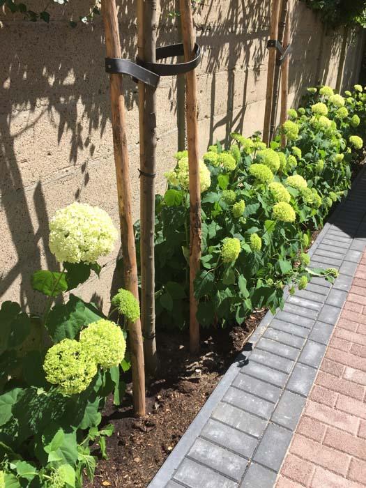 hortensias tuin